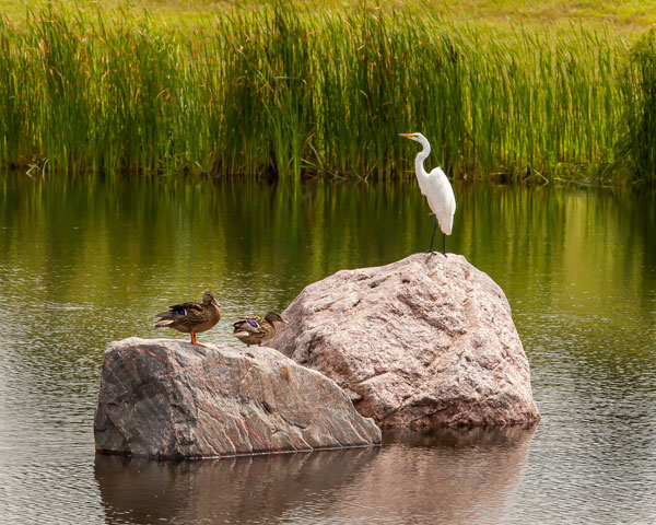 Birds on rock in the middle of pond
