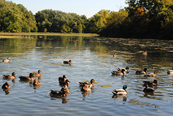 Ducks at Mill Pond