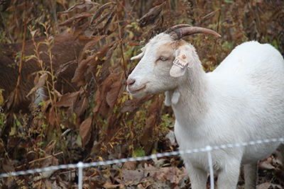 Grazing Goat Web